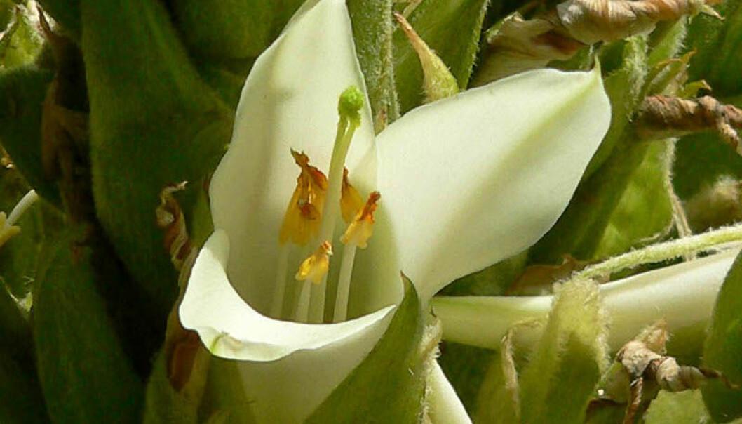 Blomstrer én gang på hundre år