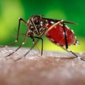 Nærbilde av Aedes aegypti som suger blod fra armen til em mann. Det er kun hunnen som stikker. (Foto: James Gathany, Centers for Disease Control and Prevention)