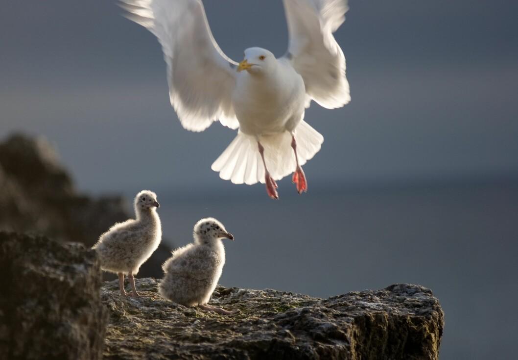 Polarmåke med unger. (Foto: Odd H. Hansen/Norsk Polarinstitutt)