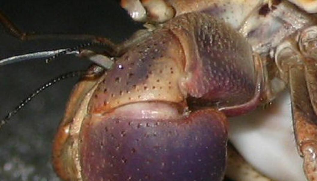 Eremittkrepsen Coenobita clypeatus lever i Karibia. (Foto: AbsolutDan / Wikimedia Commons)