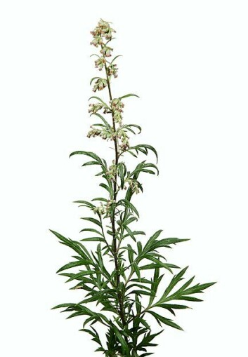Burot (Artemisia vulgaris). (Foto: Erling Fløistad)
