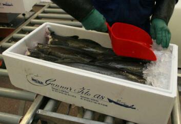 Ved å holde villfisken levende i merd kan man levere fersk fisk til tidspunkt som er avtalt med kunden. (Foto: Frank Gregersen, Nofima)