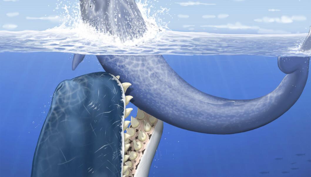 Illustrasjon av den utdødde spermhvalen Leviathan melvillei, som levde for 12-13 millioner år siden. Her angriper den en mellomstor bardehval havet, utenfor kysten av det som i dag utgjør Peru. (Foto: C. Letenneur, MNHN)