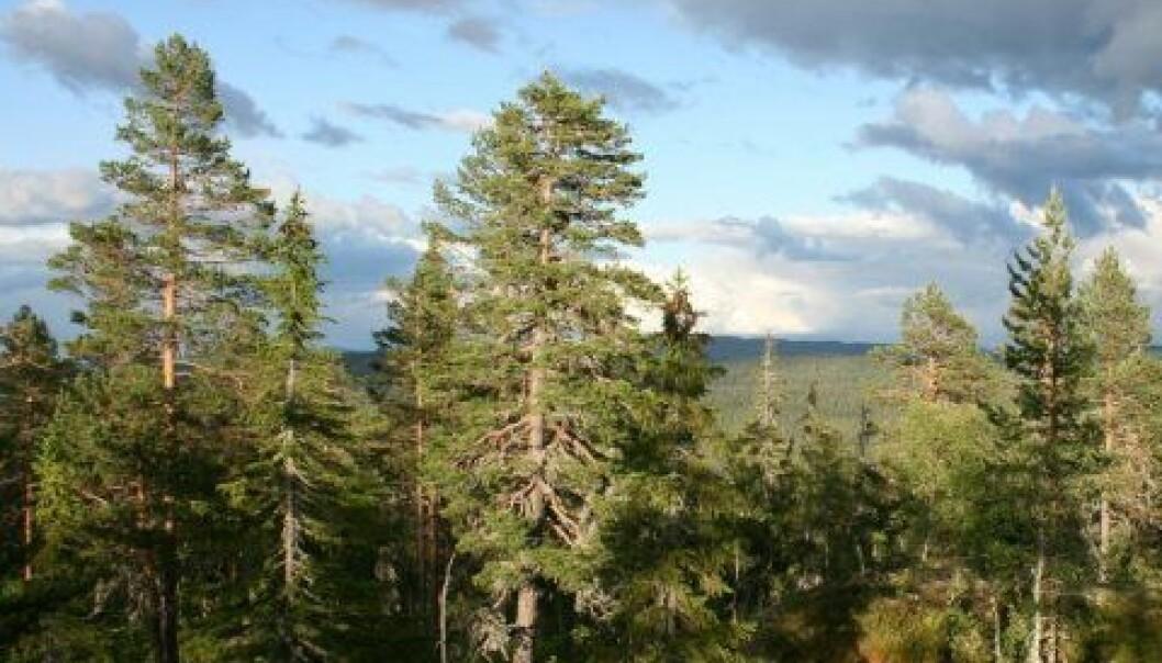 Mye av forskningen på skoghistorie har foregått i Trillemarka naturreservat i Buskerud fylke. (Foto: Jørund Rolstad, Skog og landskap)