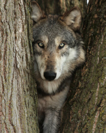 """""""Opprinnelig stammer alle hunder fra ulven. (Illustrasjonsfoto: iStockphoto)"""""""