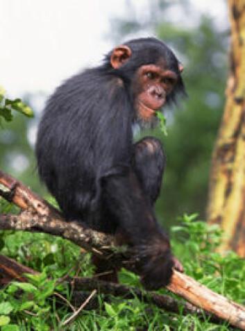 """""""Det er langt større likhet mellom en babyhjerne og en apehjerne, enn mellom en apehjerne og en voksen hjerne. (Foto:JupiterImages)"""""""