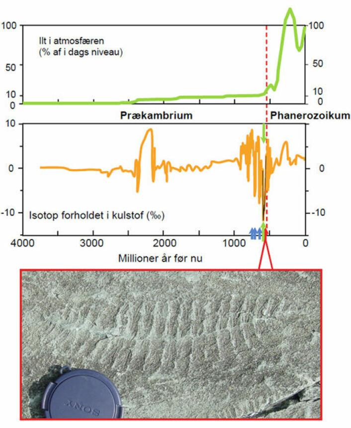 Grafikken viser karbonisotop-sammensetningen gjennom jordens historie. Den øverste viser antatt oksygeninnhold i atmosfære og hav. Den grønne pilen peker på Shurum-Wonoka-anomalien, som forskerne nå kan forklare. De blå pilene viser tidspunkter for globale istider. Den stiplede, røde linjen er grensen mellom Prekambrium og Kambrium. Fotografiet viser et fossil fra Ediacaran, en type fossiler som oppstår like i slutten av Shuram-Wonoka-anomalien. Utviklingen av disse artene støtter forskernes hypotese. (Foto: Don Canfield. Grafikk: Christian J. Bjerrum)