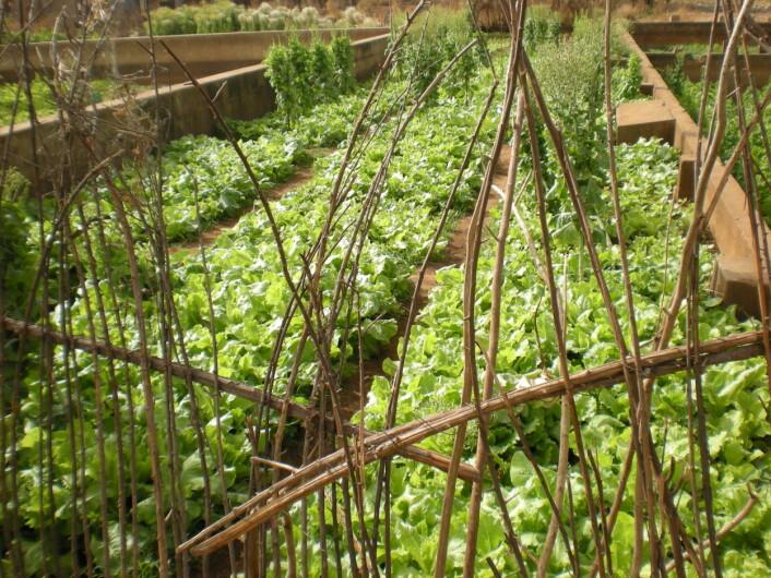 Salat vannet med avløpsvann i Ghana. (Foto: Razak Seidu)