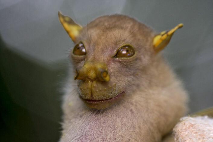 En ubeskrevet, men tidligere oppdaget flaggermus av Nyctimene-slekten.