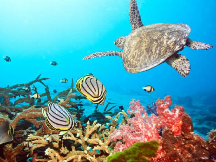 """""""Ifølge TEEB-studien koster ødeleggelsene av verdens korallrev oss mellom 200 og 1000 milliarder kroner hvert år. (Illustrasjonsfoto: iStockphoto)"""""""