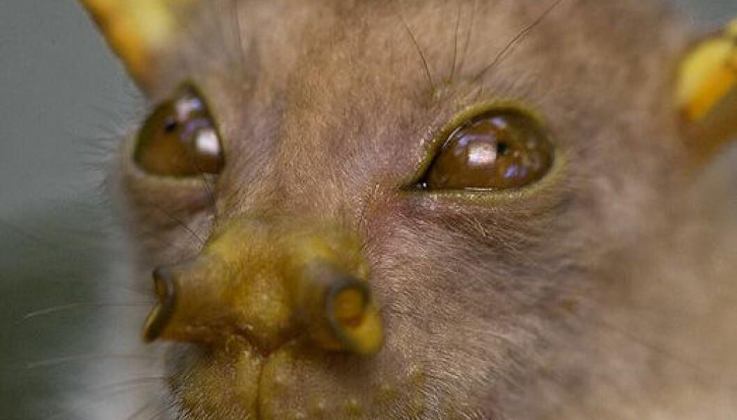 En ubeskrevet, men tidligere oppdaget flaggermus av Nyctimene-slekten. (Foto: Piotr Naskrecki)