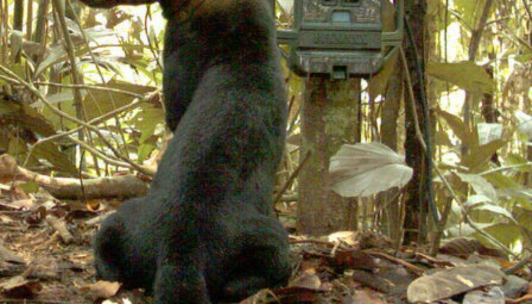 En tregrevling i Peru har fattet interesse for forskernes kamerafelle. (Foto: Smithsonian Institution)