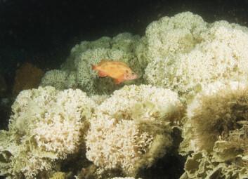 Kaldtvannskoraller er blant naturtypene som er aktuelle å verne i marine verneområder i Norge. (Foto: UWPhoto.no/Kåre Telnes)