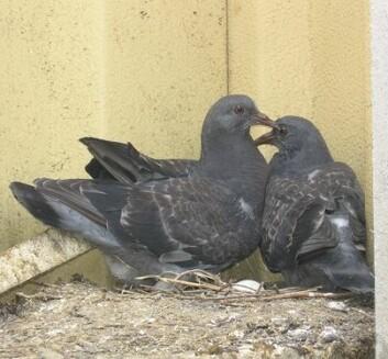 Unge duer (Foto: Flickr/straightedge217)