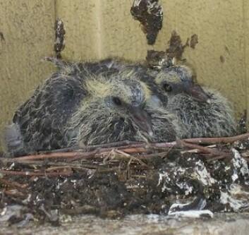 Babyduer - ganske nyutklekket (Foto: Flicr / straightedge217)