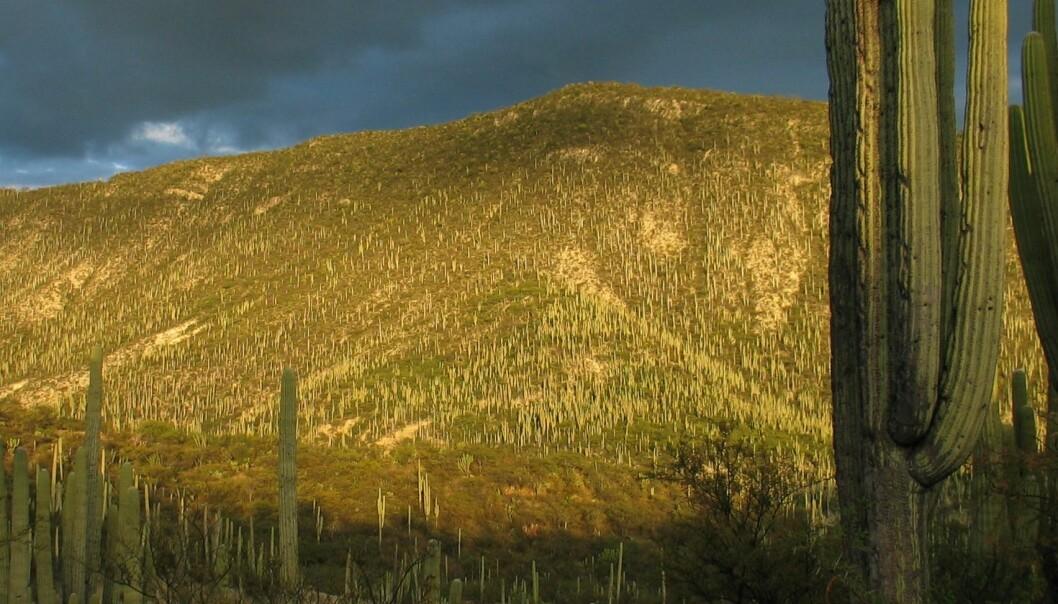Kaktus-skog i Tehuacán-dalen. (Foto: Stein Joar Hegland)