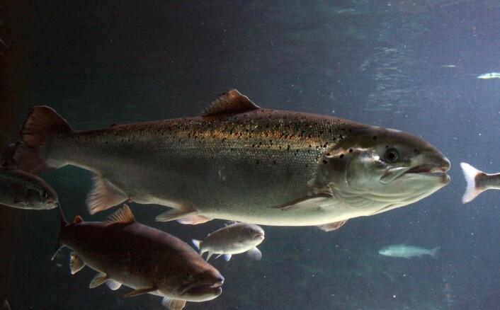 """Laks og andre arter i havet er mye flinkere til å """"måle"""" forurensning enn de mest fintfølende tekniske apparater. Foto: BR Media"""