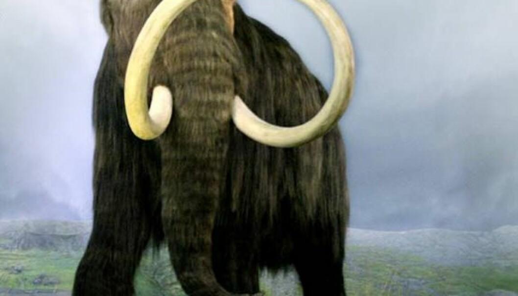 Forskere ved Manitoba i British Columbia i Canada har klart å rekonstruere mammuthemoglobin. Det gjenoppstandne blodet forteller hemmeligheter om hvordan mammuten kunne tilpasse seg ekstremtemperaturer. (Illustrasjon: Royal British Columbia museum/ Joerg Stetefeld)