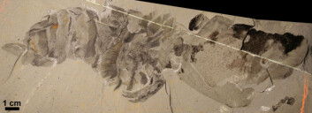 Dette er det best bevarte fossilet av  Hurdia victoria fra Burgess Shale. Eksemplaret ble funnet for nær 100 år siden av Charles Walcott, men ble ikke før nylig beskrevet som Hurdia. (Foto: Science/AAAS)