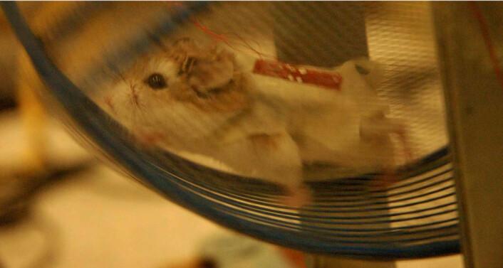 """""""Hamster med jakke laget av nanoledninger og fire generatorer. (Foto: Zhong Lin Wang)"""""""