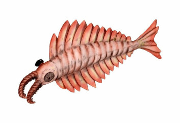 Den ser ut som en slags monsterreke, Anomalocaris, som er en slektning av Hurdia victoria. Tidligere kinesiske funn antyder at enkelte eksemplarer av Anomalocaris kunne nå en lengde på inntil én meter. (Tegning: Arthur Weasley, Wikimedia Commons) Creative Commons-lisens her.
