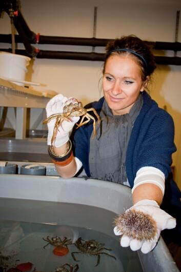 Doktorgradsstipendiaten Victoria Paulsen leter etter verdifulle kjemiske stoffer hos pyntekrabber og kråkeboller. Foto: Reidun Klykken Lie / UiT