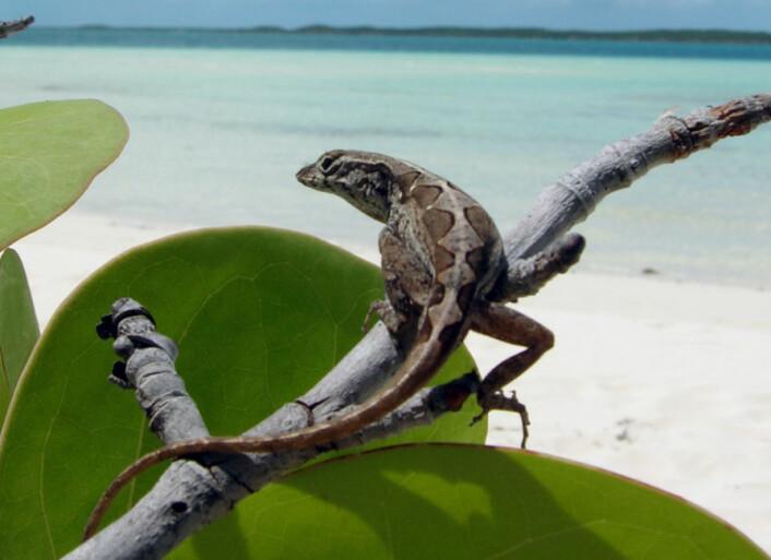 En liten dame fra Bahamas: Anolis sagrei. (Foto: Science/AAAS)
