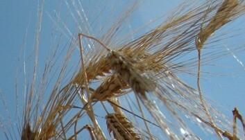 Forskerne lurer på hvorfor det er mindre innhold av farlige soppgift i økologisk korn. (Foto: Jon Schärer)