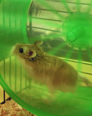 """""""Forskerne prøvde seg først med en rotte, men den ville ikke løpe, og hamsteren ville bare løpe etter klokka elleve på kvelden. (Foto: Zhong Lin Wang)"""""""