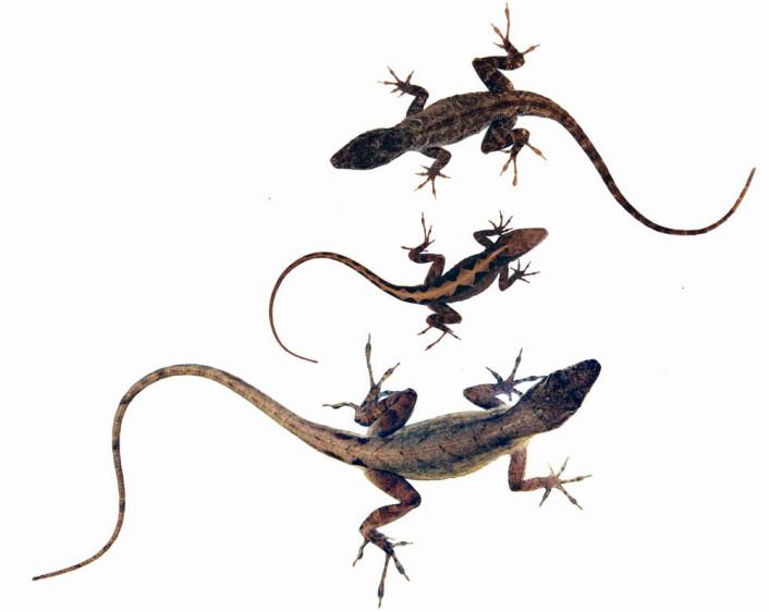 Hunnen (i midten) får flere sønner med store hanner (nederst) og flere døtre med små hanner (øverst). (Foto: Science/AAAS)
