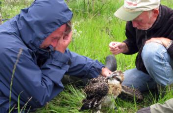 Rolf Terje Kroglund (t.v.) og Tor Spidsø monterer GPS-sendere på Ørnulf i 2008. (Foto: Torstein Myhre)