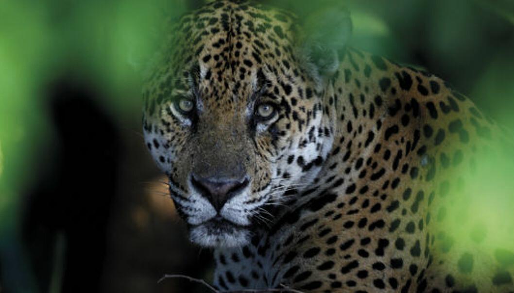 Vant pris for jaguarens blikk
