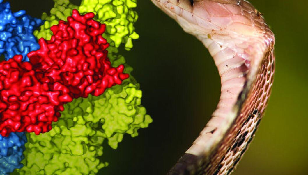 Her ser man kobraslangen Naja naja sammen med en figur fra atomstrukturen. Komplement C5 (blått) fra menneskets immunforsvar i kompleks med slangeproteinet CVF (grønt) viser hvordan slangeproteinet i kompleks med et enzym kalt faktor B (rød), som også er et av menneskets egne proteiner, kan bryte ned C5-proteinet. (Foto: Randers Regnskov/Gregers Rom Andersen)