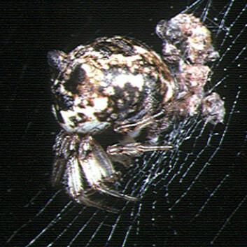 Edderkoppen Cyclosa mulmeinensis forvirrer predatorer som veps. Den lager fullskala etterlikninger av seg selv i spindelvevet, noe som skaper problemer for angriperen. (Foto: Wikimedia Commons, se lisens her.)