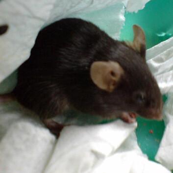 Hvis man skal bruke mus som testdyr, bør man i kroppen og ikke i halen, som mange forskere gjør. Hale-løft utløser stress, noe som kan påvirke resultatene, viser forskning. (Foto: Geroithe Chia)