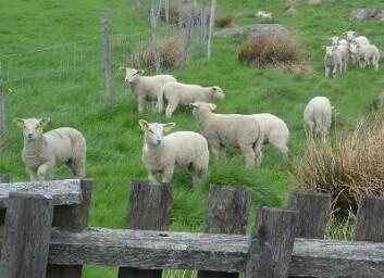 Årlig smittes mer enn 300000 lam på flåttbefengte beiter. Dette påfører sauenæringa store økonomiske og dyrevelferdsmessige bekymringer. (Foto: Erik G. Granquist)