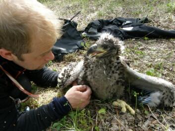 Trond Johnsen sammen med en ikke flygedyktig ørn. Nå er fjærprøver nok til å måle miljøgifter, i motsetning til tidligere blodprøver. (Foto: Sveinn Are Hanssen, NINA)