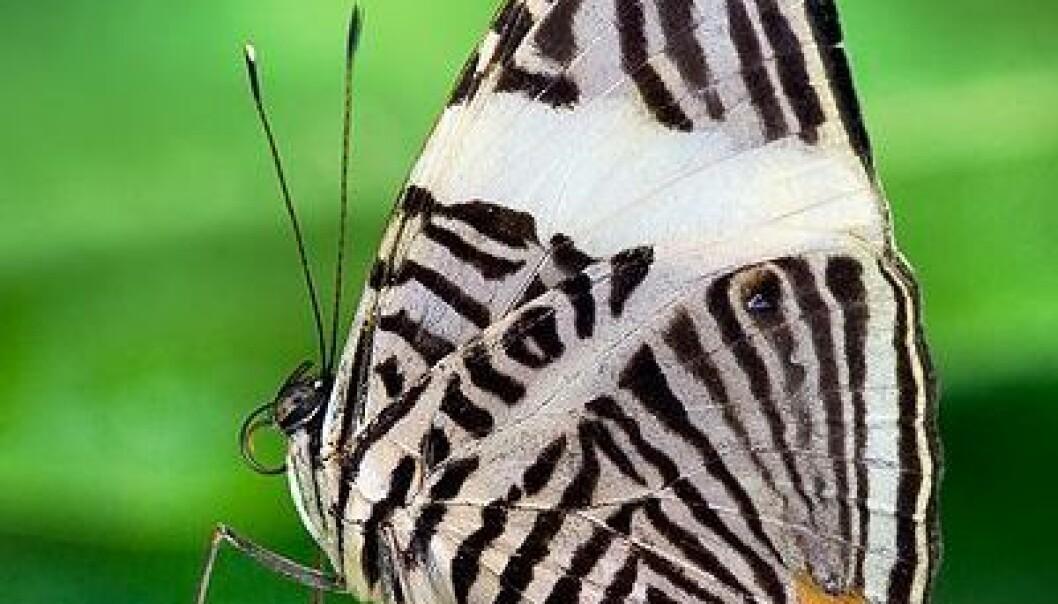 Sommerfugl i gruppen Flikvinger. Lever i Sentral-Amerika og i nordlige deler av Sør-Amerika. (Foto:Richard Bartz/ Wikimedia Commons)