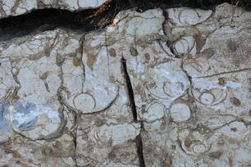 Fossile blekkspruter delt på tvers. Sifoen nederst er godt synlig. Foto: Hans Arne Nakrem, Naturhistorisk museum/UiO