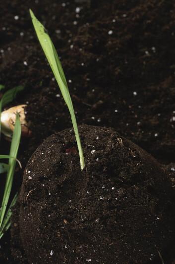 """""""Grønnsaker er de mest fosforkrevende vekstene, og en fosformangel kan bidra til den allerede økende matmangelen i verden, sier Anne-Kristin Løes ved Bioforsk Økologisk. Illustrasjonsfoto: www.clipart.com"""""""