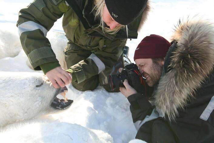 Silje-Kristin Jensen og veileder Jon Aars fra Norsk Polarinstitutt med ei isbjørnbinne under feltarbeid på Svalbard. (Foto: Magnus Andersen/Norsk Polarinstitutt)