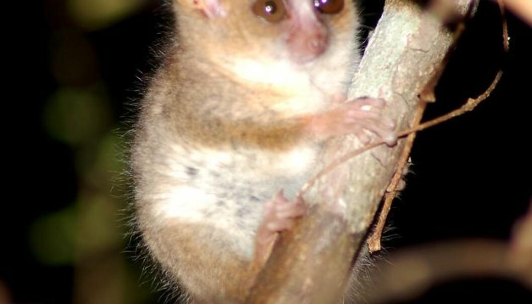 Korkøgla og mini-lemurenes øy