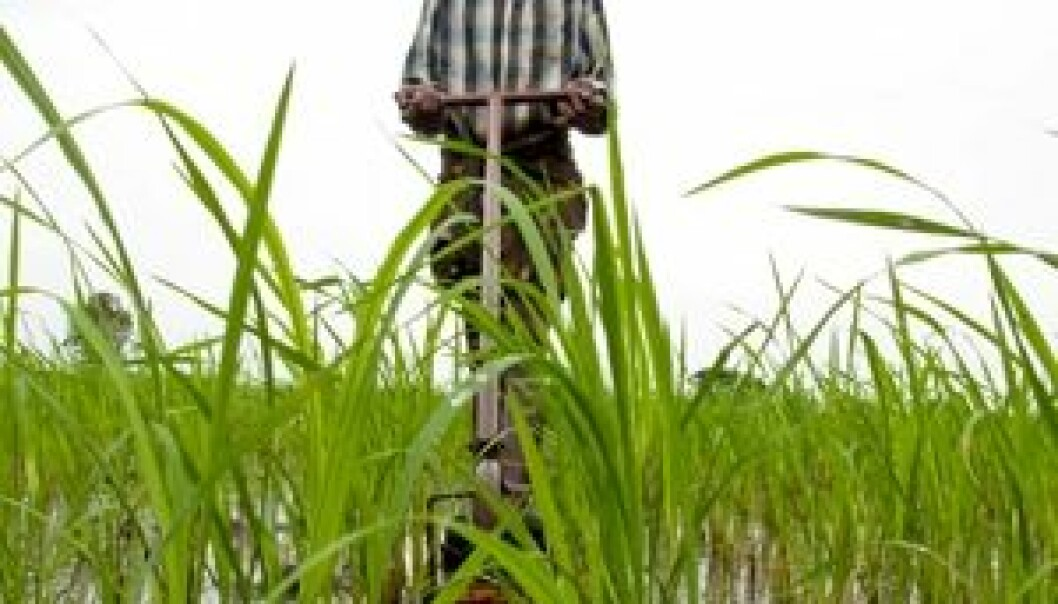 Mekanisk bekjempelse av ugras er viktig for gode avlinger. (Foto: Ragnar Våga Pedersen)