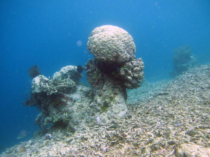 """""""Koraller lever i symbiose med alger, og korallene dør hvis algene blir borte. Foto: ARC Centre of Excellence for Coral Reef Studies"""""""