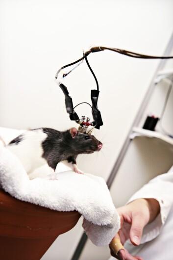Det er viktig å kunne diagnostisere Alzheimer og gripe inn så tidlig som mulig. Forskning på rotter kan gi viktige svar. (Foto: Jørn Adde/NTNU)