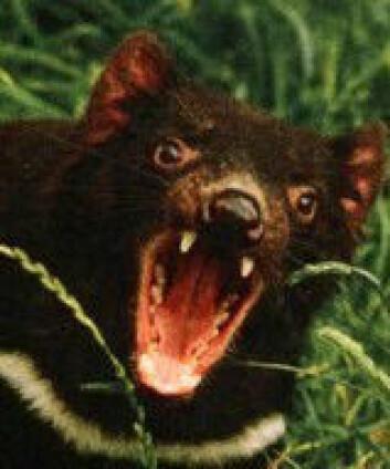 """""""Tasmansk djevel. Pass fingrene!"""""""