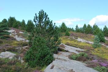 Buskfuru i lyngheiområde på Sotra. Kulturlandskap skapt av beitedyr er i ferd med å gro igjen. (Foto: Ole R. Vetaas)
