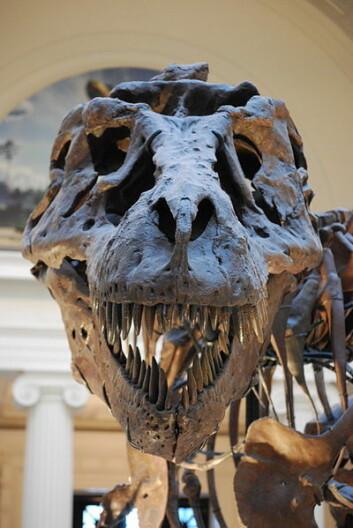 T-rexen Sue, som er utstilt på Field Museum of Natural History i Chicago. (Foto: ScottRobertAnselmo/Wikimedia Creative Commons)