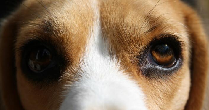 Forsøket med hundetrening ble utført på 44 beagler som normalt blir brukt som laboratoriehunder hos en farmasøytisk bedrift. Fordelen er at slike hunder ikke er blitt trent i forveien, som for eksempel familiehunder, og at hundene er av samme rase, slik at de kan sammenlignes bedre. (Foto: Colourbox)