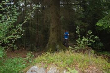Sitkagrana, opprinnelig fra Amerikas vestkyst, trives i Norge. Modellering viser at den kan bli en trussel mot biodiversiteten, særlig i kombinasjon med klimaendringer. Prosjektleder Ole Reidar Vetaas måler her en rundt 100 år gammel sitkagran på Hisøy i Bømlo. Foto: Frida L. Vetaas